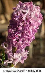 pink hyacinth at the sunset