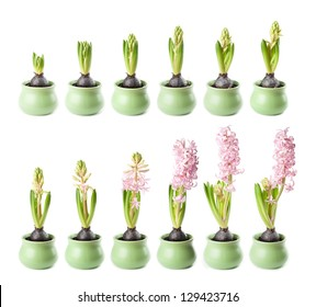 Pink hyacinth in twelve stages of growth