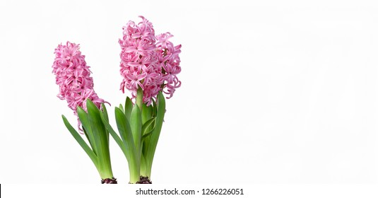 pink hyacinths isolated