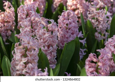 Pink Hyacinthus, Species orientalis, Hyacinth. Attractive spring bulbous flowers. Highly fragrant however the bulbs contain a poison called oxalic acid, which reacts to the skin.