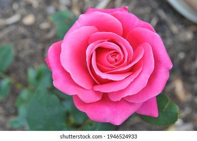 Pink Hybrid Tea rose (Rosa) Charisma blooms in a garden in June - Shutterstock ID 1946524933