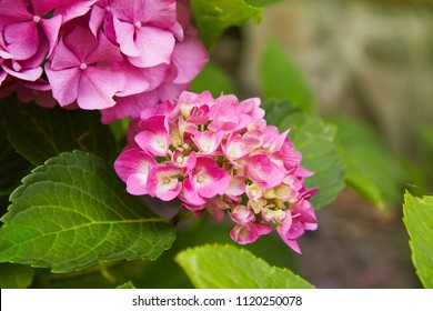 Pink Hydrangea flower (Hydrangea macrophylla)  blooming in spring and summer in a garden. Hydrangea macrophylla - Beautiful bush of hortensia flowers