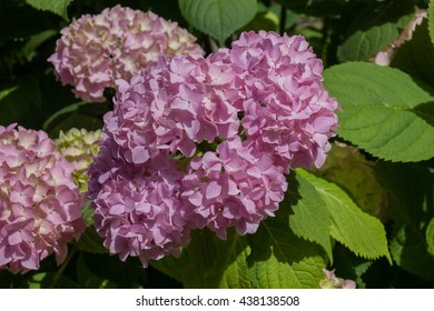 Pink hydrangea flowers. Hydrangea (common names hydrangea or hortensia) is a genus of 70-75 species of flowering plants native to southern and eastern Asia and the Americas.