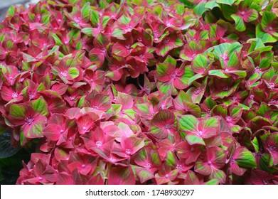pink hydrangea flowers in garden