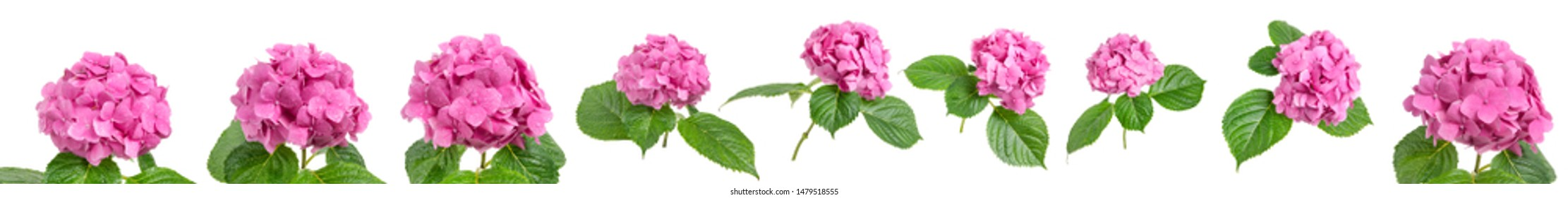 Pink Hydrangea flowers isolated on white background, Blooming branch of Hortensia pink flower head, Bouquet of pink hydrangea flower garden bush with leaves