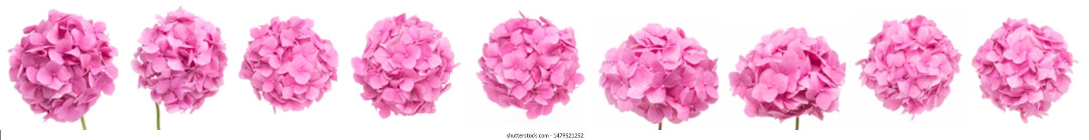 Pink Hydrangea flowers isolated on white background, Blooming branch of Hortensia pink flower head, Bouquet of pink hydrangea flower garden bush