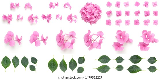 Pink Hydrangea flowers and leaves isolated on white background, Blooming branch of Hortensia pink flower head, Bouquet of pink hydrangea flower garden bush