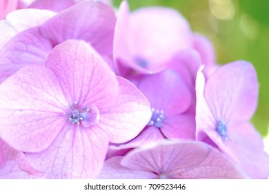 Pink hydrangea flowers with shallow DOF with soft focus on the flower's pollen. soft and dreamy effect.