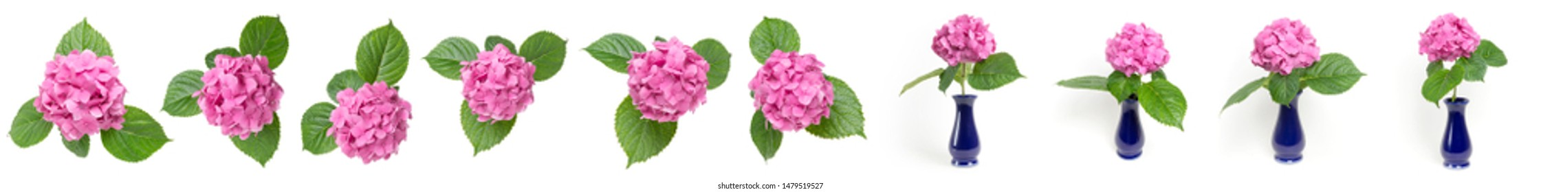 Pink Hydrangea flowers in a vase isolated on white background, Blooming branch of Hortensia pink flower head, Bouquet of pink hydrangea flower garden bush with leaves