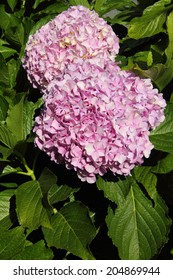 Pink Hydrangea in full bloom, Sintra, Lisbon, Portugal.