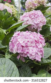 pink hydrangea with green leaf in the garden