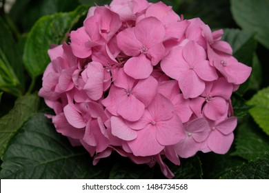 Pink hydrangea (hortensia) flower. The flower is photographed in Taormina, Sicily, Italy.