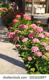 Pink hydrangeas in the garden.