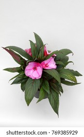 Pink Impatiens flowers in pot isolated on white background for sale, decorations or gifts.