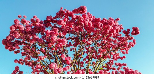 Pink ipe blooming in winter standing out in the blue sky
