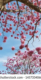 Pink ipe blooms in Goiania, Goias, Brazil