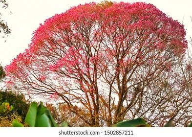 pink ipe tree all full of flowers