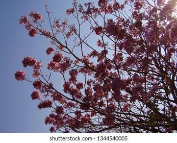 Pink Ipe tree in bloom against blue sky