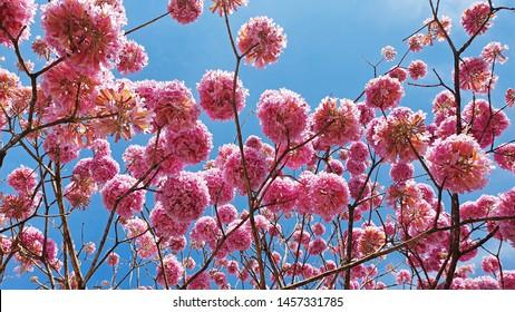 Pink Ipe tree blooms in Goiania, Goias, Brazil