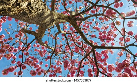 Pink Ipe tree in Goiania, Goias, Brazil