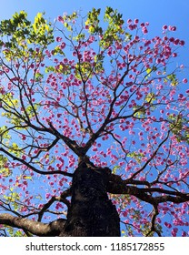 Pink Ipe tree in Goias State Brazil