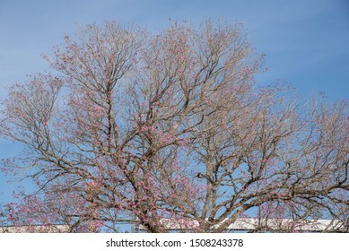 A pink ipe tree (tabebuia ipe) in bloom and in the background the blue of the endless sky. Spring in southern Brazil. Ornamental tree.