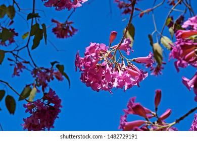 Pink ipe or pink trumpet tree flower, (Handroanthus impetiginosus), Rio de Janeiro, Brazil