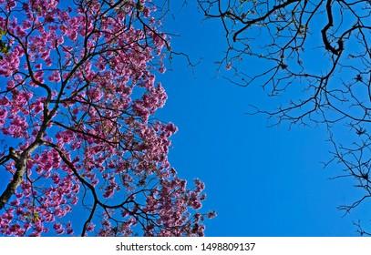 Pink ipe or pink trumpet tree, (Handroanthus impetiginosus), Rio de Janeiro, Brazil