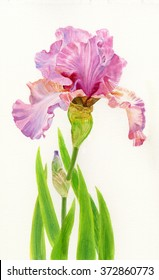 Pink Iris with Leaves 2.  Watercolor painting, illustration style, iris with leaves on a white background.