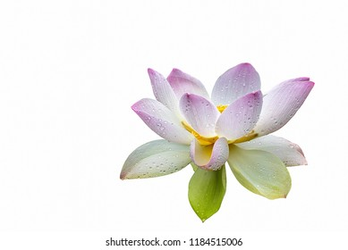 Pink Isolated lotus with rain drops on white background, clipping path