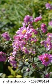 Pink Japanese anemone Koenigin Charlotte (Queen Charlotte) - Latin name - Anemone * hybrida Koenigin Charlotte