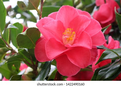 A Pink Japanese Camellia or Camellia Japonica