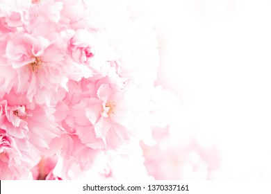 Pink Japanese cherry (Prunus serrulata or Cerasus serrulata) blossoms in spring fading to white  floral background with copy space