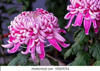 Pink japanese chrysanthemum