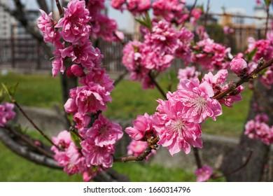 Pink Japanese Plum Blossom Close Up