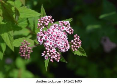 Pink Japanese spirea Sparkling Champagne flowers - Latin name - Spiraea japonica Sparkling Champagne