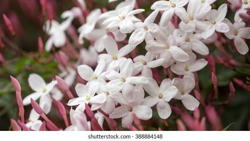 Pink Jasmine (aka White Jasmine) Jasminum polyanthum, in bloom. Santa Clara County, California, USA.