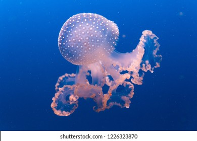 Pink Jellyfish in the light against a deep blue background
