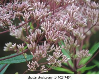 Pink Joe Pye Weed in Bloom