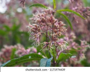 Pink Joe-Pye weed, Eutrochium purpureum