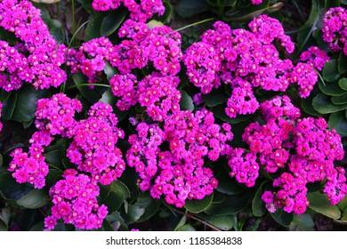 ฺBeautiful pink Kalanchoe