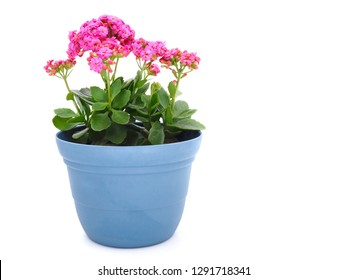 Pink kalanchoe blossfeldiana (Florist kalanchoe) flowers in the blue pot isolated on white background with copy space.