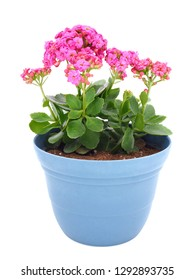 Pink kalanchoe blossfeldiana (Florist kalanchoe) flowers in the blue pot isolated on white background.
