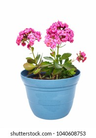 Pink Kalanchoe blossfeldiana plant in blue flower pot isolated on white background.