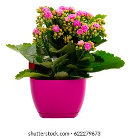 Pink kalanchoe flower in a pot, house plants isolated on white, Flower gift