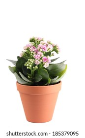 Pink Kalanchoe flowering pot plant with buds in terracotta pottery bowl