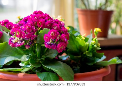 Pink Kalanchoe flowers in the interior, flowers in a pot, houseplants. Colorful small flowers of Kalanchoe close-up