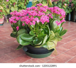 pink kalanchoe (Saxifragales Crassulaceae Kalanchoe) flower bloom
