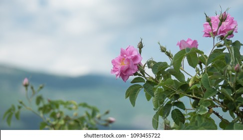 Pink Kazanlak Damascena rose, oil-bearing flowering shrub plant, the famous fragrance of Bulgarian Rose Oil distillated for perfumery and rose water. Bulgaria, the Valley of Roses. Cultural tourism.