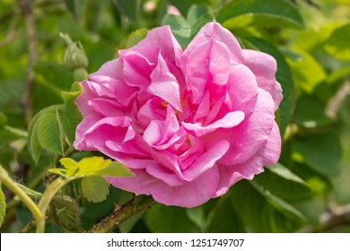 Pink Kazanlak Damascena rose, oil-bearing flowering shrub plant, the famous fragrance of Bulgarian Rose Oil distillated for perfumery and rose water, rose otto essence. Bulgaria, the Valley of Roses.